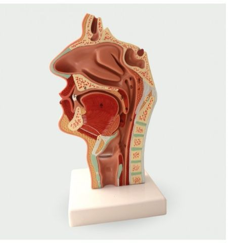 Modelo Anatómico Faringe