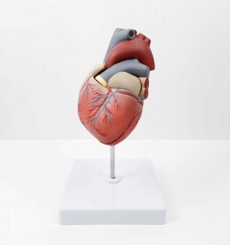 Modelo Anatómico Corazón